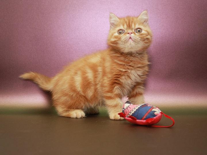 Фото 1/3. Красный мраморный Экзотик (котёнок)