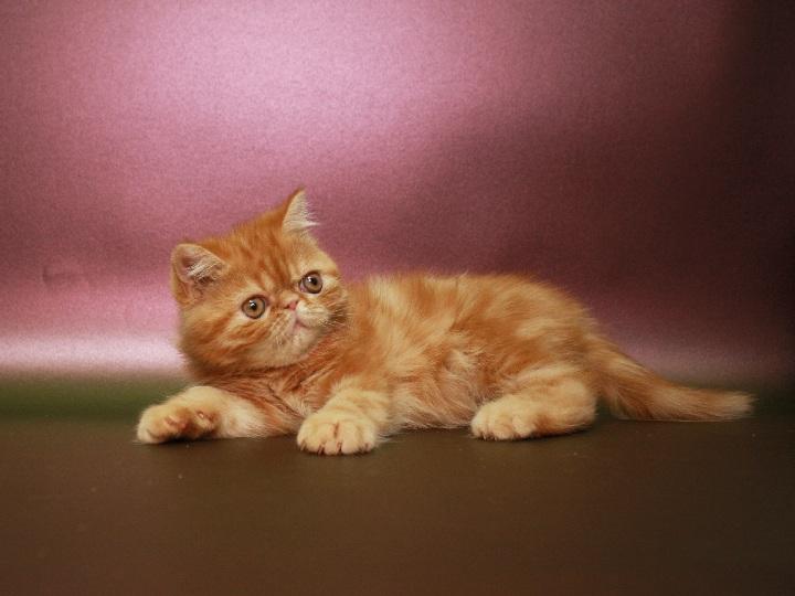 Фото 2/3. Красный мраморный Экзотик (котёнок)