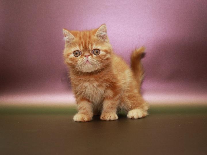 Фото 3/3. Красный мраморный Экзотик (котёнок)