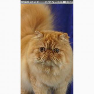Куплю недорого рыжего котенка перса или шотландца вислоухого. Желательно рыжего