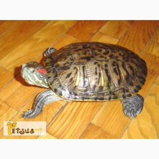 Отдам в хорошие руки красноухую черепаху