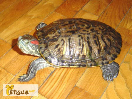 Фото 1/1. Отдам в хорошие руки красноухую черепаху