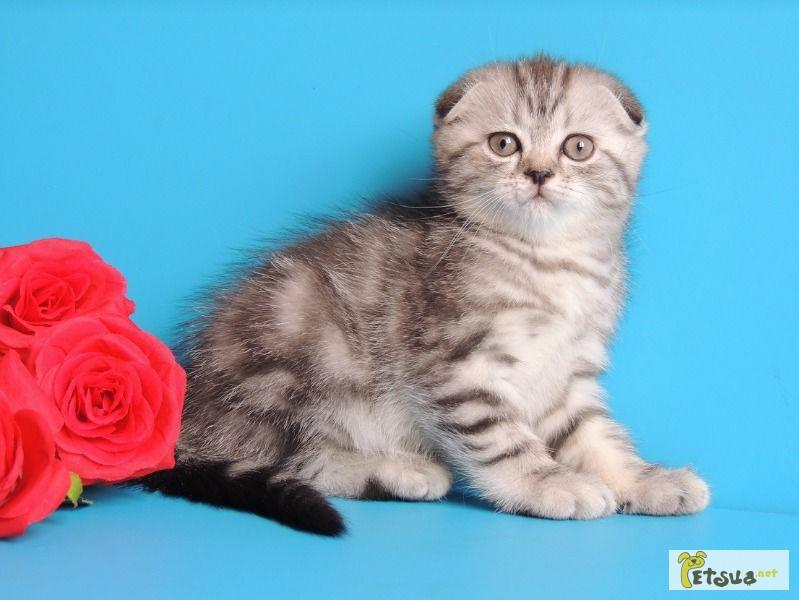 размещения шотландский вислоухий котенок фото мраморный выращивания являются