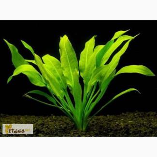 Аквариумные растения, эхинодорус