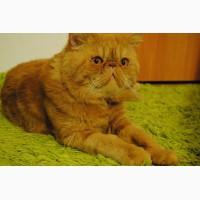 Кот Экзот- экстремал для кошечки на вязку