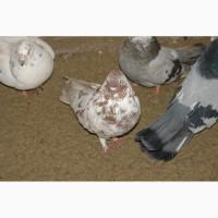 Продам летных голубей