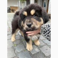 Продам тибетского мастифа щенков КСУ