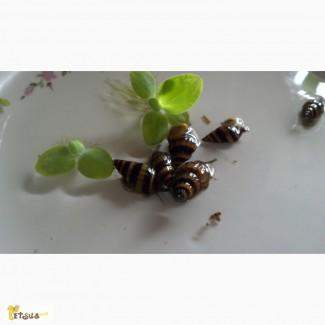 Продам улиток-хищников Хелен (Anemone helena)
