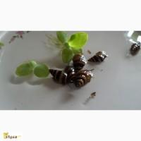 ������ ������-�������� ����� (Anemone helena)
