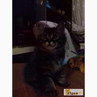 Продам котят породы курильский бобтейл