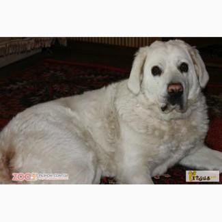 Продам щенка (девочка) Польской подголянской овчарки