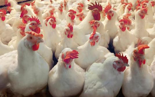 Фото 1/1. Купити Інкубаційні яйця курей несучок Ломан