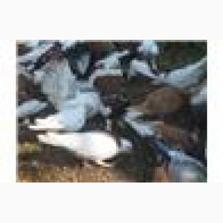 Фазаны серебристые и голуби