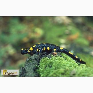 Огненная (пятнистая) саламандра. (Salamandra salamandra)