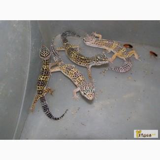 Продам разводных ручных леопардовых гекконов