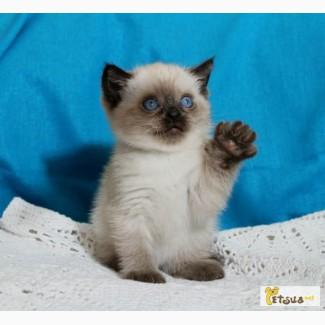 Тайский котик - Бегемотик