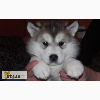 Продам шикарного щенка Аляскинского маламута