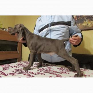 Продаются щенки немецкого курцхаара г. Мариуполь