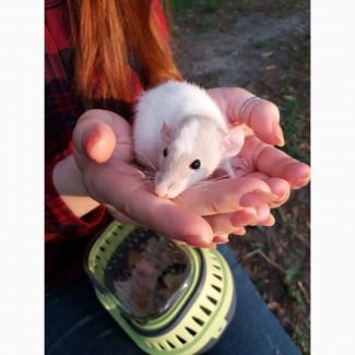 Отдам крысиков в добрые ручки срочно