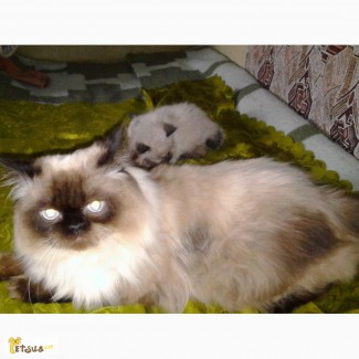 Продам невского маскарадного котенка