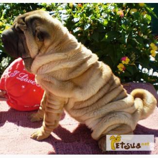 Продажа щенков шарпеев