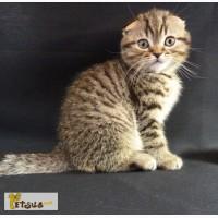 Очень добрый и нежный котик Scottish Fold, пятнистого окраса n 24, в Киеве. Маленький