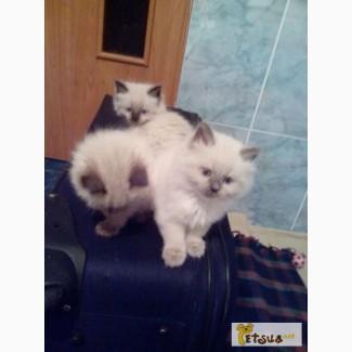 Продаются породистые котята с родословной