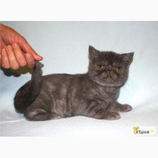 Предлагаем котенка экзота экстремального типа. Окрас: голубой дым