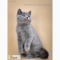 Предлагается к продаже породный британский котенок из питомника