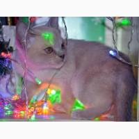 Бурманские котята бурма