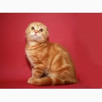 Шотландский вислоухий котенок, мальчик