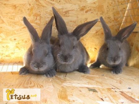 Фото 1/4. Продам кроликов породы Венский Голубой