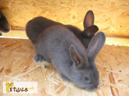 Фото 3/4. Продам кроликов породы Венский Голубой