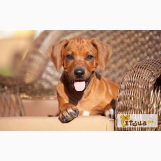 Продам родезийский риджбек щенок