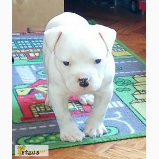 Продам щенка американского бульдога