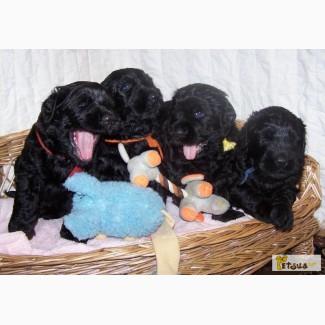 Продам замечательных, крупных щенков чёрного терьера