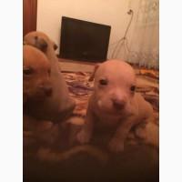 Продам щенков питбуля