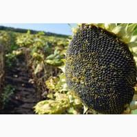 Семена подсолнечника Лиман ОР, устойчив к 7 рас заразихи от компании Лист