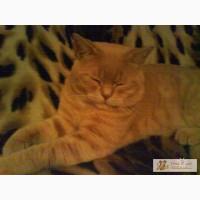 Кремовый прямоухийприглашает на вязку вислоухих кошек