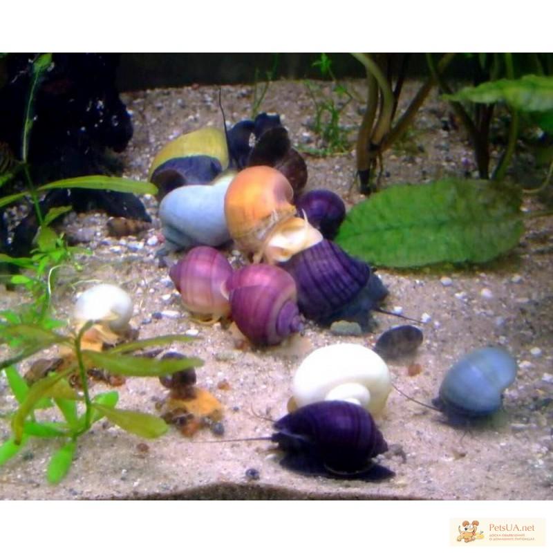 Фото 1/3. Улитки Цветные Ампулярии 6 видов, Теодоксусы. Эгагропила живой-фильтр бархатный шар.