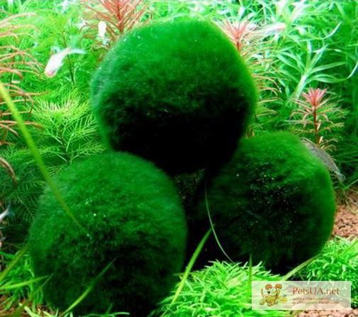 Фото 3/3. Улитки Цветные Ампулярии 6 видов, Теодоксусы. Эгагропила живой-фильтр бархатный шар.