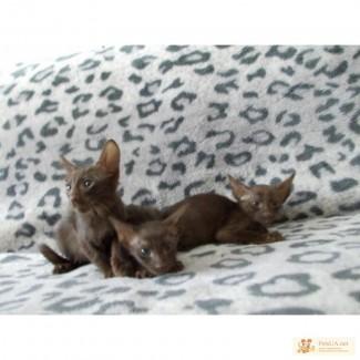 Продаю котёнка Гавана браун.