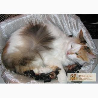 Виттория Рене – шикарная суперпушистая кошка 1,5 лет