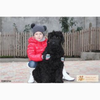Щенки Черного Терьера от Чемпионов.