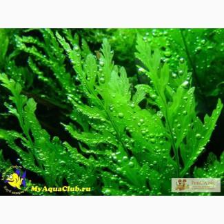 Продам мхи папоротники растения для аквариума и креветочника