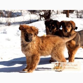 Очаровательный крупный щенок-метис бельгийской овчарки в дар
