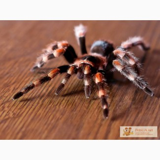 Продам тарантула Продам тарантула