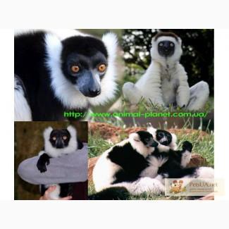 Приматы различные виды: игрунка, лори, капуцын, макака
