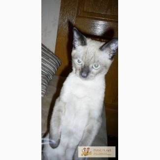 Котенок тонкинской кошки
