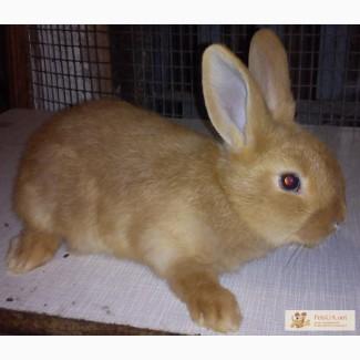 Племенные кролики - самцы-Бургундцы